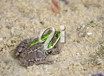 Frog on sand. Nature composition. Shallow depth-of-field.