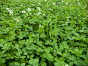 Wood blossoming clover on a grassy cover.