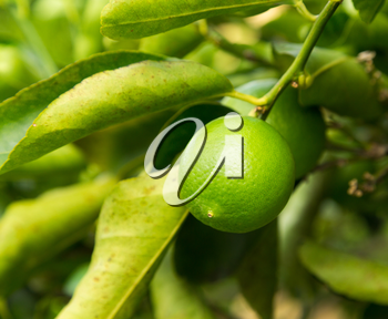 Persian or Tahitian Lime fruit growing on tree in plantation in Kauai, Hawaii