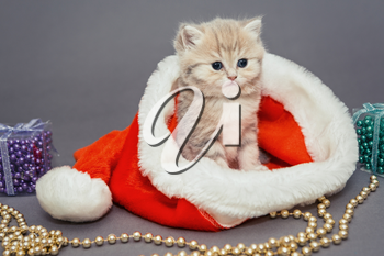 Little kitten British breed marble, sits in a Santa hat on gray background