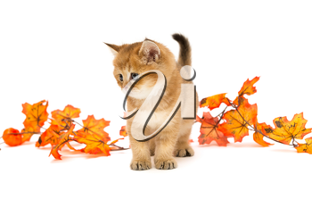 Little British kitten and autumn leaves, isolated on a white background.