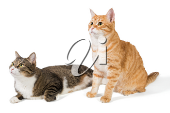 Two friendly cat on a white background, grey and red