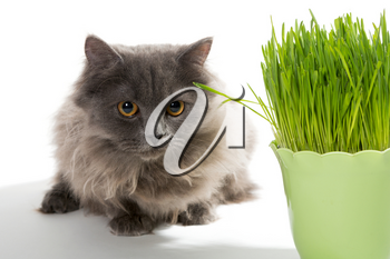 Persian kitten and a pot of green grass, isolated on white