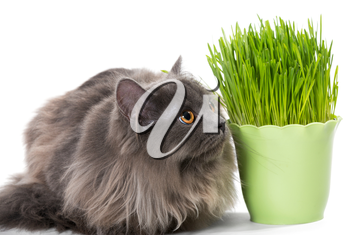 Persian kitten sits near grass,  isolated on white