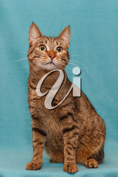 Beautiful grey striped cat on blue background