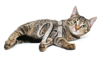 Small, grey tabby kitten lies on a white background