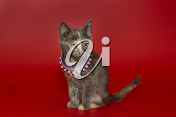 Small tricolor kitten with beads on its neck on a red background
