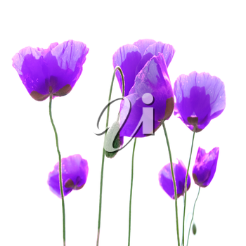 Beautiful purple poppies isolated on white background