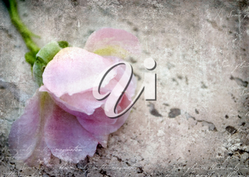 One beautiful tender pink rose on grunge background with place for text. Can use for holiday cards, invitations, flyers, posters or other design. Close up.