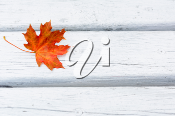 Fall maple leaf on white wooden background.  Autumn fall leaves background