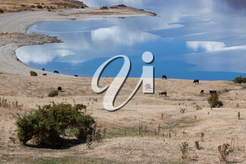Cattle grazing on the land surrounding Lake Hawea