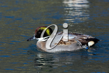 Falcated Duck or Teal (Anas falcata)