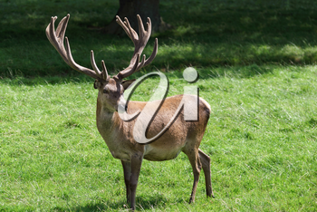 Red Deer (Cervus elaphus)