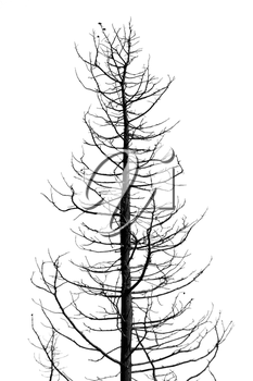 Leafless tree in the wintertime. Black and white.
