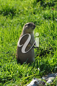 Black tailed prairie dog rodent animal standing on hind legs.