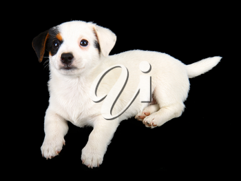 Jack russell puppy isolated on black background